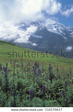 Various flowers on a grass-covered hill in front of the snowy mountains with clouds - stock photo