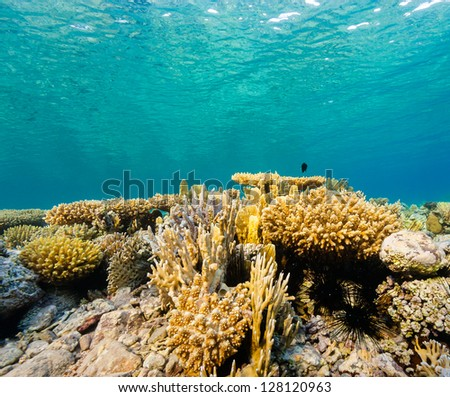 Various hard corals on a tropical reef in shallow water - stock photo