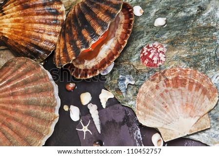 Various seashells on wet sea stones. Open scallop. Macro. Selective focus - stock photo