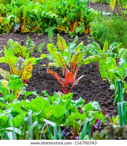 Various vegetables growing in a well kept allotment - stock photo