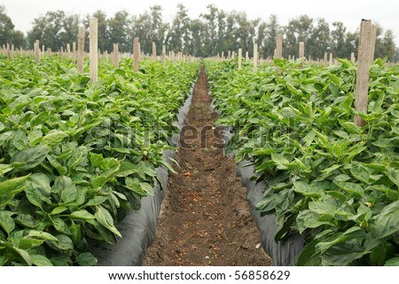 various views of bell peppers growing in a field or plantation - stock photo