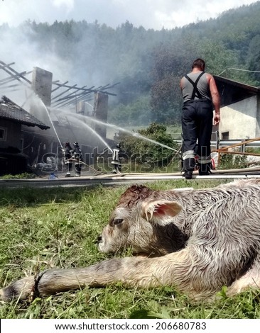 VARNA, ITALY - JUNE 2: Calf rescued by Firefighters after a rural barn fire in the mountain. Volunteers Firefighters control burning down in a Farm in Varna on June 2, 2013 - stock photo