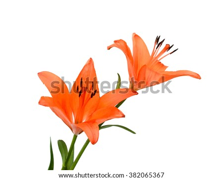 vector lily flower isolated on white background - stock photo
