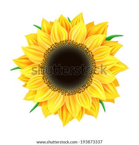 Vector sunflower isolated  - stock photo