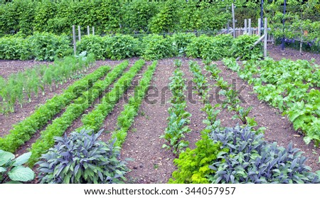 Vegetable and herb allotment with rows growing fennel, carrots, beetroot, celery leaves, sage, parsley with broad beans in the background - stock photo