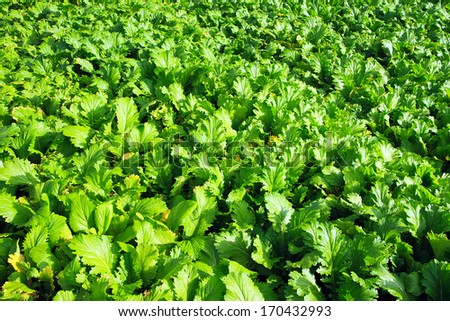 vegetable fields in the sun - stock photo