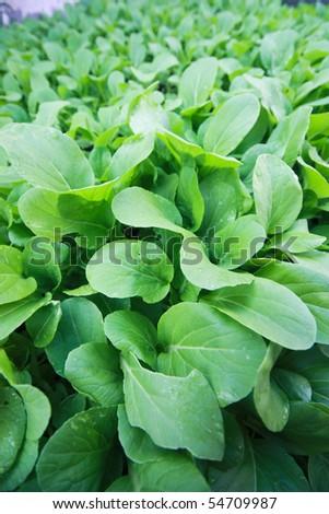 Vegetable garden at northeast of Thailand - stock photo