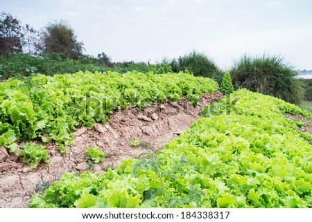 Vegetable garden in Thailand. - stock photo