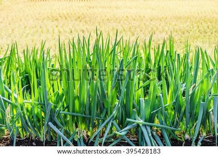 Vegetable garden of Allium fistulosum L. It is also called Japanese bunching onion. - stock photo