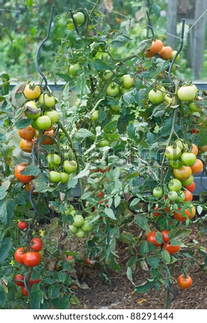 Vegetable Garden with Fresh and Nutritious Tomatoes - stock photo