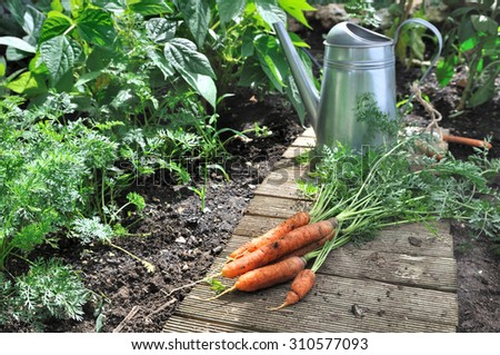 vegetable garden with watering can and carrots - stock photo