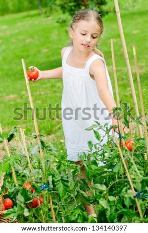 Vegetable, gardening - lovely girl picking ripe tomatoes - stock photo