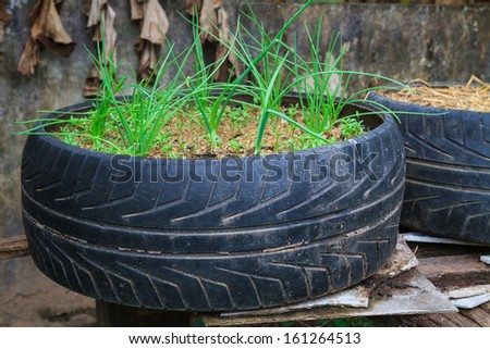 Vegetable growing in old used tyre pot - stock photo