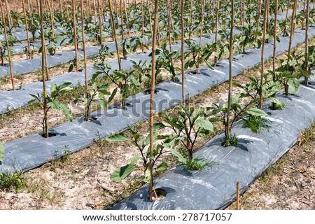 Vegetable plot in summer  - stock photo