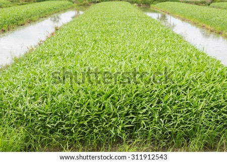 Vegetable plot of chinese water convolvulus (Morning Glory) - stock photo