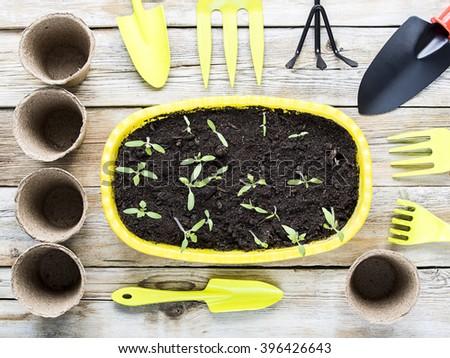 Vegetable seedlings closeup growing in pot. Gardening tools - stock photo