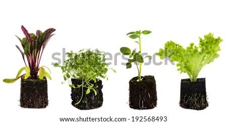 Vegetable seedlings. Isolated on white. - stock photo