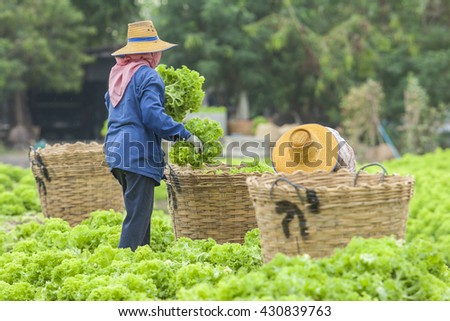 Vegetables field with rural farmer working background. - stock photo