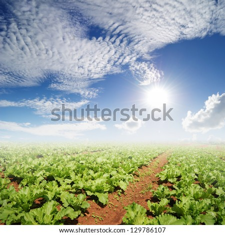 Vegetables fields and Sun Sky - stock photo