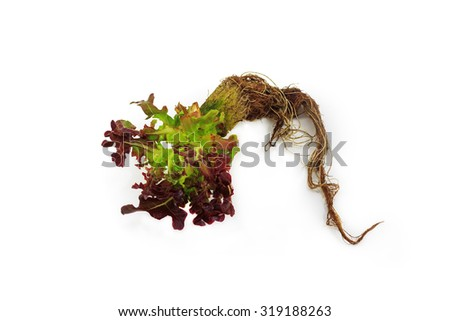 vegetables in water ( Hydroponics plantation ) - stock photo