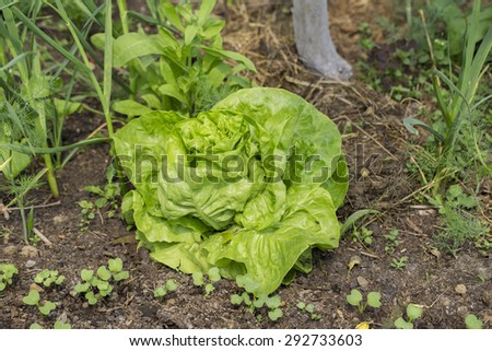 vegetables on the bed villa - stock photo