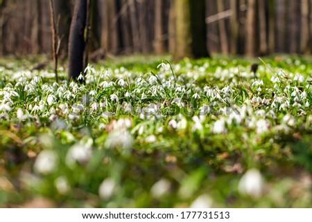 Vegetation carpet of snowdrops in floodplain forest (Galanthus nivalis) - stock photo