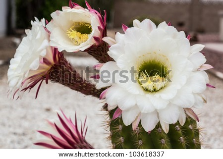 Vegetation of the Sonoran Desert - stock photo