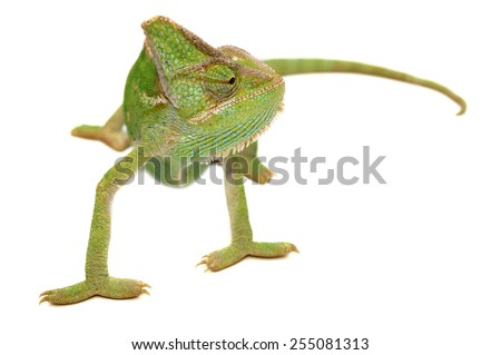 Veiled chameleon Chamaeleo calyptratus isolated on white. - stock photo