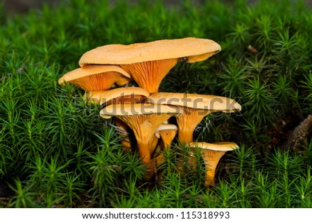 Velvet Foot in moss - stock photo