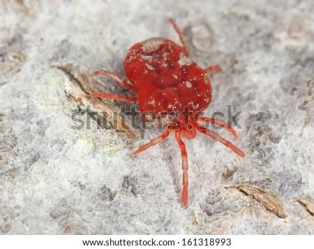 Velvet mite, trombidium on wood, extreme close-up - stock photo