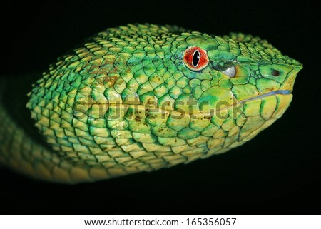 Venomous Wagler's Green Tree Pit Viper (Tropidolaemus wagleri) looks at camera with bright red eyes in Borneo jungle. AKA Temple Viper because of abundance around Temple of the Azure Cloud in Malaysia - stock photo