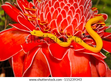 venomous yellow eyelash pit viper on red plant, arenal, costa rica, latin america, deadly snake - stock photo