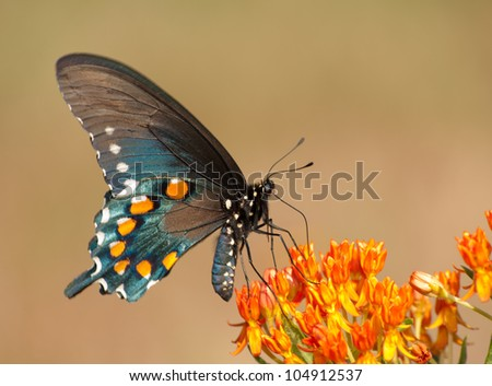 Ventral view of a Green Swallowtail butterfly feeding on butterflyweed - stock photo