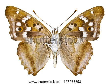 Ventral view of Aglais ilia (Lesser Purple Emperor) butterfly isolated on white background. - stock photo