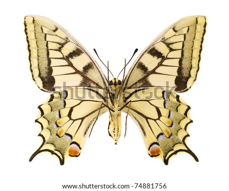 Ventral view of an Papilio machaon isolated on a white background. - stock photo