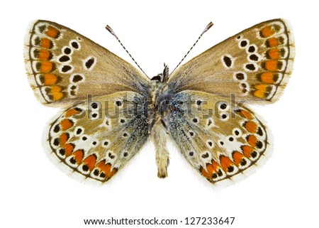 Ventral view of Aricia agestis (Brown Argus)  butterfly isolated on white background. - stock photo