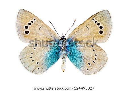 Ventral view of Glaucopsyche alexis (Green-underside Blue) butterfly isolated on white background. - stock photo