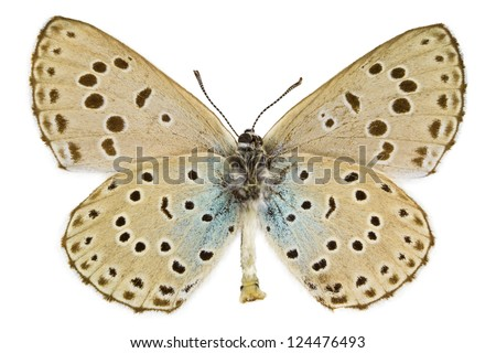 Ventral view of Phengaris arion (Large Blue) butterfly isolated on white background. - stock photo
