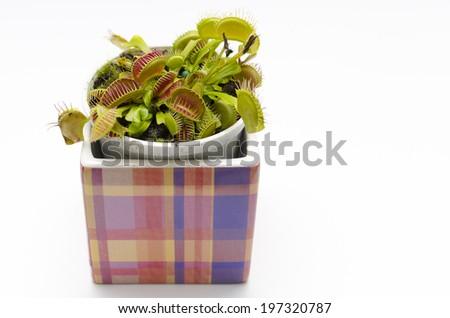 Venus flytrap plant (dionaea muscipula) in a square pot. - stock photo