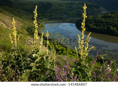 Verbascum densiflorum, yellow wildflower. The plant has a long history of use as a medicine, and is an effective treatment for asthma and respiratory disorders - stock photo