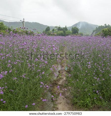 Verbena in the rain - stock photo