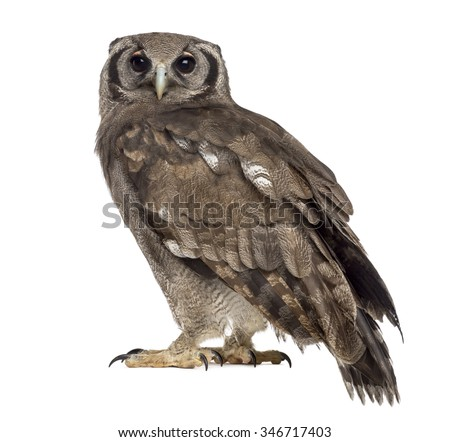 Verreaux's eagle-owl - Bubo lacteus (3 years old) in front of a white background - stock photo