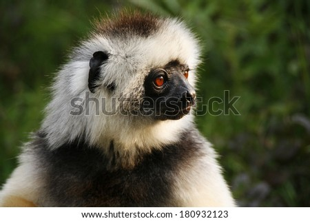 verreaux sifaka - stock photo