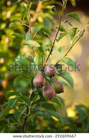 vertical food background with organic pears on tree branch - stock photo