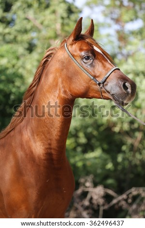 Vertical head shot of a purebred arabian horse with harness - stock photo