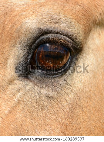 Vertical horse eye close up with very long eye lashes. - stock photo