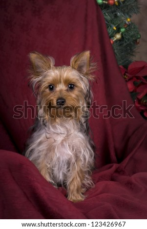 Vertical image of a six month old Yorkie at Christmas in a studio setting. - stock photo