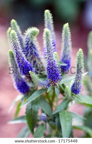 Vertical image of the purple spiky flowers of Spike Speedwell. - stock photo