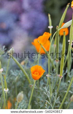 vertical orientation close up of the California Poppy, California's State Flower with copy space /  Close Up of the California Poppy - stock photo