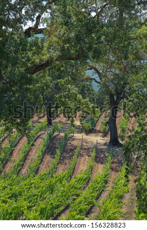vertical orientation of bright green symmetrical vineyards on a rolling hill with oak trees, on a sunny day, with copy space / Northern California Oaks and Vineyards - stock photo